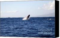 Whale Canvas Prints - Breaching Humpback Canvas Print by Scott Pellegrin
