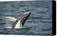 Whale Photo Canvas Prints - Breaching Humpback Whale Canvas Print by Jim  Calarese