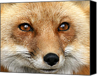 Featured Special Promotions - Bright-eyed Red Fox Canvas Print by Larry Allan