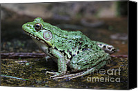 Bullfrogs Canvas Prints - Bright Green Bullfrog Canvas Print by Chris Hill