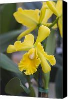 Cattleya Canvas Prints - Bright yellow cattleya orchid Canvas Print by Allan Seiden - Printscapes