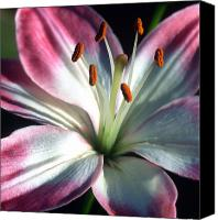 Framed Pink Lily Canvas Prints - Brilliance Canvas Print by Kathy Yates