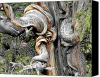 East Canvas Prints - Bristlecone Pine - I am not part of history - history is part of me Canvas Print by Christine Till