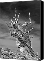 Sierra Canvas Prints - Bristlecone Pine - A survival expert Canvas Print by Christine Till