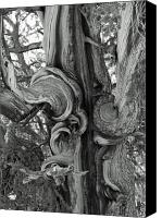 White Mountains Canvas Prints - Bristlecone Pine Detail Canvas Print by Troy Montemayor
