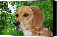 Beagle Canvas Prints - British Beauty Canvas Print by Christine Till