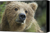 Kodiak Canvas Prints - Brown Bear in the rain Canvas Print by Hal Brindley