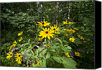 Camelot Canvas Prints - Brown-eyed Susan in the woods Canvas Print by Gary Eason