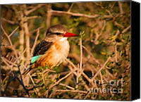 Kingfisher Canvas Prints - BROWN-HOODED KINGFISHER South African kingfisher Canvas Print by Andy Smy
