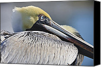 Pelicans Canvas Prints - Brown Pelican Canvas Print by Adam Romanowicz