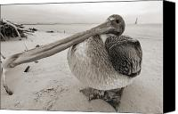 White Seagull Canvas Prints - Brown Pelican Folly Beach Morris Island Lighthouse Close Up Canvas Print by Dustin K Ryan