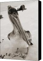 Birds Canvas Prints - Brown Pelican Folly Beach SC Sepia Canvas Print by Dustin K Ryan