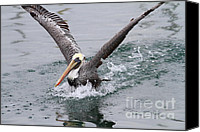 Birds In Flight Canvas Prints - Brown Pelican Landing On Water . 7D8372 Canvas Print by Wingsdomain Art and Photography