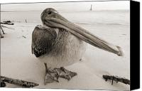 Bird Canvas Prints - Brown Pelican Morris Island Sc Charleston  Canvas Print by Dustin K Ryan