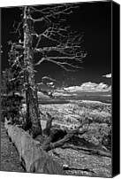 Bryce Canyon Canvas Prints - Bryce Canyon - Dead Tree black and white Canvas Print by Larry Carr