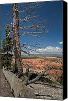 Bryce Canyon Canvas Prints - Bryce Canyon - Dead Tree Canvas Print by Larry Carr