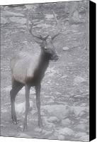 Damp Canvas Prints - Buck in Fog on Hurricane Ridge - Olympic National Forest - Olympic National Park WA Canvas Print by Christine Till