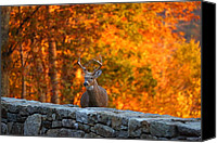 Yellow Photo Canvas Prints - Buck in the Fall 01 Canvas Print by Metro DC Photography