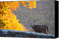 Hunt Canvas Prints - Buck in the Fall 08 Canvas Print by Metro DC Photography