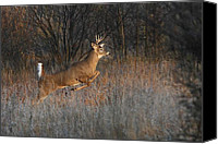 Jim Cumming Canvas Prints - Buck on the Run Canvas Print by Jim Cumming