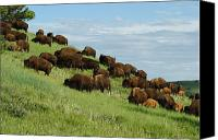 Bison Canvas Prints - Buffalo Herd Canvas Print by Ernie Echols