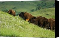 Buffalo Mixed Media Canvas Prints - Buffalo on Hillside Canvas Print by Ernie Echols