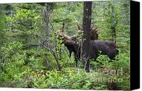 Bull Moose Canvas Prints - Bull Moose  - White Mountains New Hampshire  Canvas Print by Erin Paul Donovan
