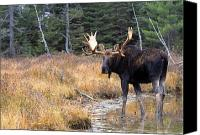 Bulls Canvas Prints - Bull Moose In Stream Canvas Print by Natural Selection Bill Byrne