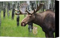 Raining Canvas Prints - Bull Moose Portrait Canvas Print by Cathy  Beharriell