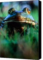 Bullfrogs Canvas Prints - Bullfrog Canvas Print by David Nunuk