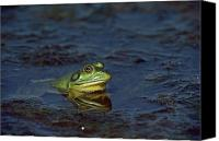 Bullfrogs Canvas Prints - Bullfrog Rana Catesbeiana In Water Canvas Print by Medford Taylor