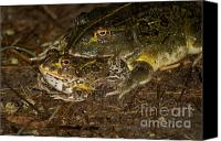 Bullfrogs Canvas Prints - Bullfrogs Canvas Print by Mareko Marciniak