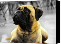 Dog Photo Canvas Prints - BullMastiff Canvas Print by Jai Johnson