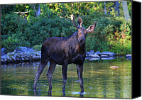 Bull Moose Canvas Prints - Bullwinkle Canvas Print by Lori Deiter