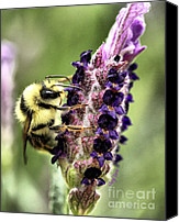 Bumblebees Canvas Prints - Bumble Bee 2 Canvas Print by Cheryl Young