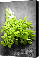 Cutting Canvas Prints - Bunch of fresh oregano Canvas Print by Elena Elisseeva