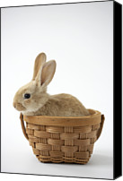 Easter Rabbit Photo Canvas Prints - Bunny In Basket On White Background Canvas Print by American Images Inc