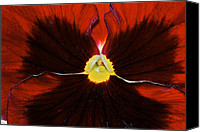 Phyllis Denton Canvas Prints - Burgandy Pansy Canvas Print by Phyllis Denton