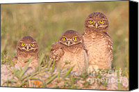 Aves Canvas Prints - Burrowing Owl Siblings Canvas Print by Clarence Holmes