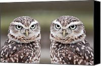 Natural Pattern Photo Canvas Prints - Burrowing Owls Canvas Print by Tony Emmett