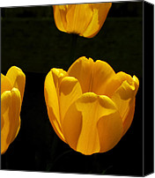 Bathrooms Canvas Prints - Buttercup Tulips Canvas Print by Steven Milner