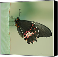 Natural Pattern Photo Canvas Prints - Butterfly At Rest Canvas Print by ©Joanne Hamblin