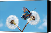 Animal Photo Canvas Prints - Butterfly On Dandelion Canvas Print by Royalty Free