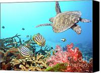 Blue Photo Canvas Prints - Butterflyfishes and turtle Canvas Print by MotHaiBaPhoto Prints