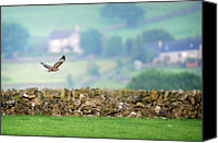 Peak One Canvas Prints - Buzzard Canvas Print by Peak District Online .co.uk