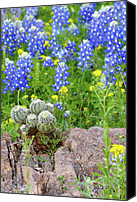 Bluebonnets Canvas Prints - Cactus and Bluebonnets Canvas Print by Andrew McInnes