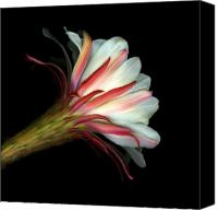 Botanicals Mixed Media Canvas Prints - Cactus Flower Canvas Print by Christian Slanec