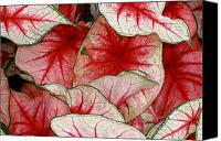 Caladium Photo Canvas Prints - Caladium Art Canvas Print by Paul Slebodnick