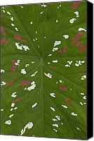 Caladium Photo Canvas Prints - Caladium Caladium Sp Leaf Detail Canvas Print by Pete Oxford
