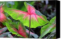 Caladium Photo Canvas Prints - Caladium Close up Canvas Print by Suzanne Gaff